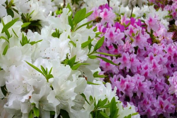 Flores de azaleas blancas y rosas