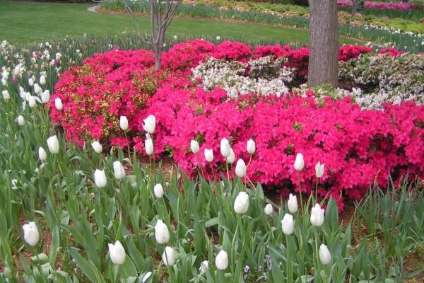 Jardín con azaleas rosas y tulipanes blancos