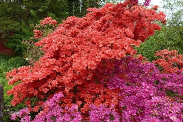 Plantas de azaleas muy crecidas