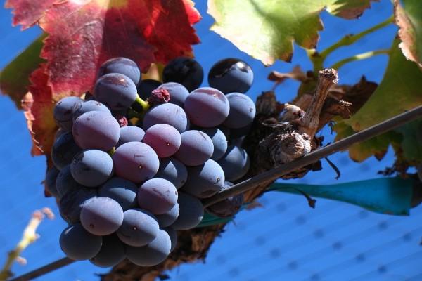Uva Garnacha Noir de un viñedo en Santa Barbara, California