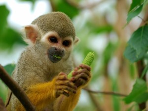 Postal: Pequeño mono comiendo un fruto verde