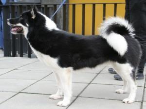 Postal: Perro de Groenlandia