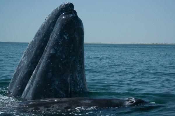 Ballena gris adulta con su ballenato