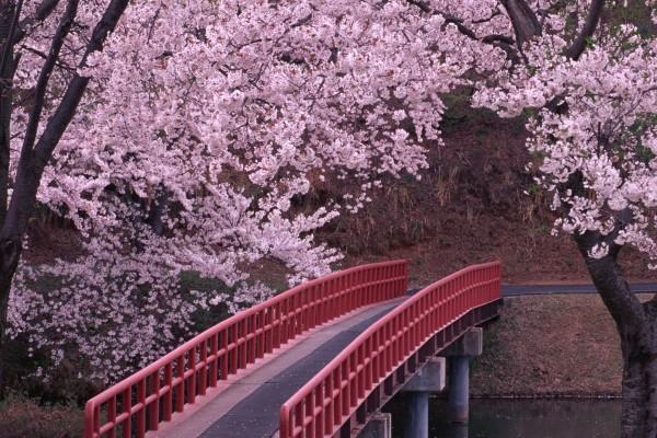 Paseo entre cerezos en flor