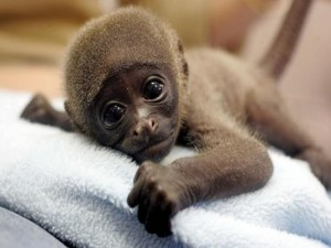Postal: Mono bebé
