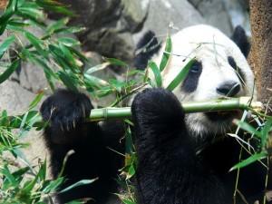 """Panda Gigante """"Tai Shan"""""""