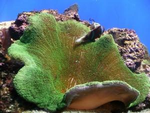 Anémona de mar (Stichodactyla)