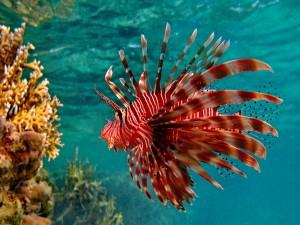 Precioso pez a rayas rojas