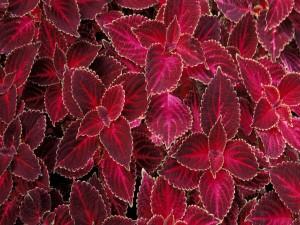 Plantas de hojas rojas