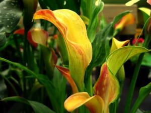 Postal: Planta con calas en tonos anaranjados