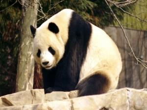 Oso Panda (Ailuropoda melanoleuca)