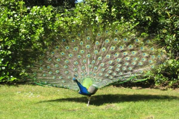 Pavo real en el jardín