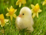 Pollito con flores amarillas