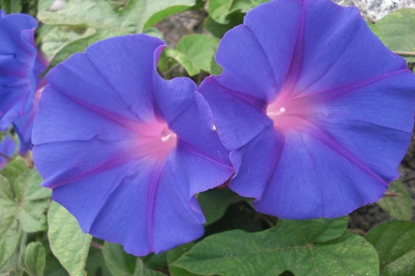 Dos flores campanilla