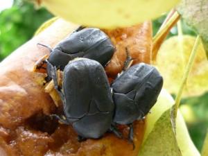 Escarabajos comiendo fruta madura