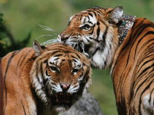 Hermanos tigres