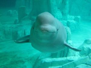 Beluga en el Oceanográfico de Valencia, España