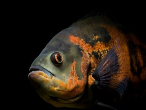 Oscar (Astronotus ocellatus), pez de agua dulce de América del Sur