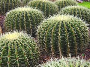 Postal: Cactus en el Jardín Botánico de Singapur