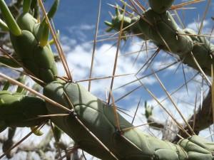 Cactus del Perú