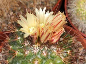 Postal: Cactus (Acharagma aguirreanum)