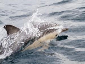 Postal: Delfín común de pico corto (Delphinus delphis)