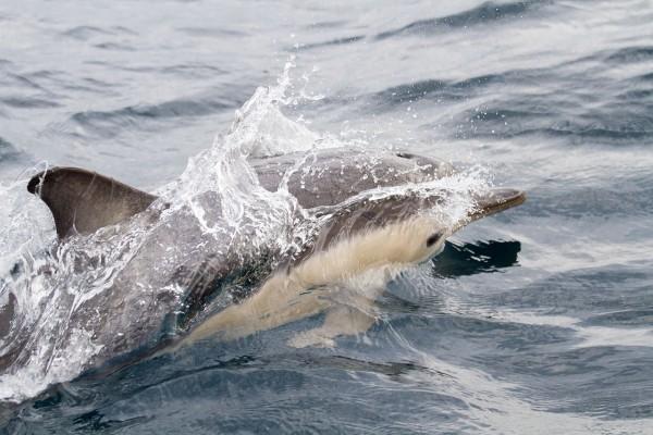 Delfín común de pico corto (Delphinus delphis)