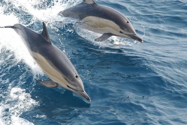 Dos delfines saltando en las aguas del océano