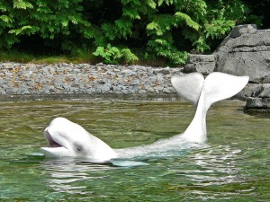 Una beluga mostrando su aleta caudal