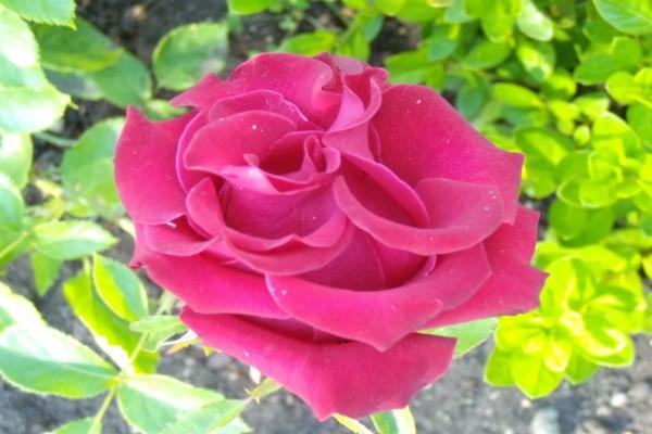 Preciosa rosa de pétalos rizados