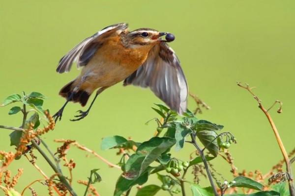 Pájaro con un fruto maduro en el pico