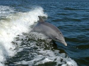 Delfín mular o Delfín nariz de botella (Tursiops truncatus)