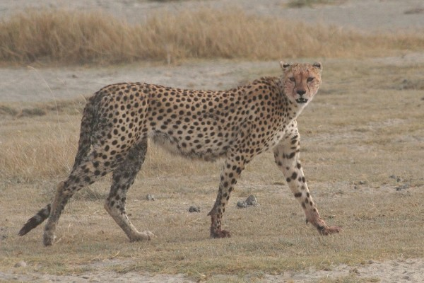 Guepardo en Tanzania