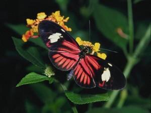 Postal: Mariposa negra y roja