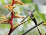 Colibrí ruiseñor (Campylopterus curvipennis)