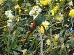 Colibrí reposando en un jazmín amarillo