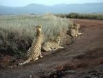 Tres guepardos (Acinonyx jubatus) en el parque Lewa, Kenia