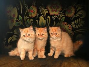 Tres gatos persas