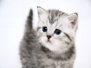 Gatito gris y blanco