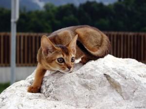 Postal: Gato abisinio en una piedra