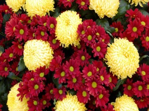 Postal: Crisantemos y margaritas rojas