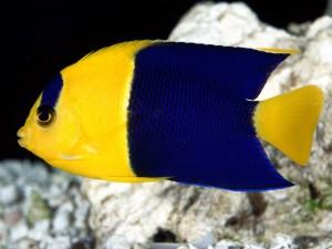 Pez amarillo y azul