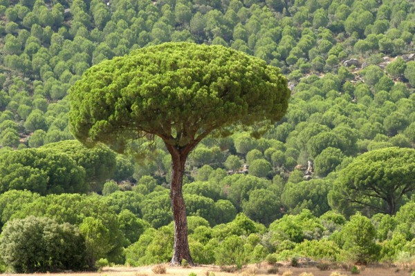 Árbol de copa redonda