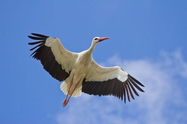 Cigüeña blanca (Ciconia ciconia)