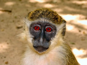 Postal: Mono de ojos rojos