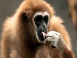 Mono tocándose la lengua