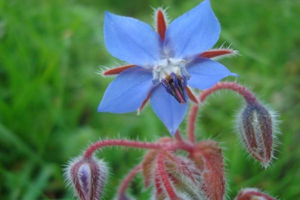 Curiosa flor peluda
