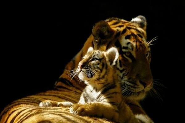 Tigresa y su cachorro