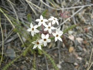 Flores de la especie Arjona patagónica