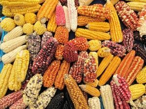 Maiz de varios tipos y colores